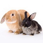 معما: شمار خرگوش ها بعد از یک سال!