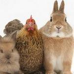 معمای ریاضی: خرگوش ها و مرغ ها!
